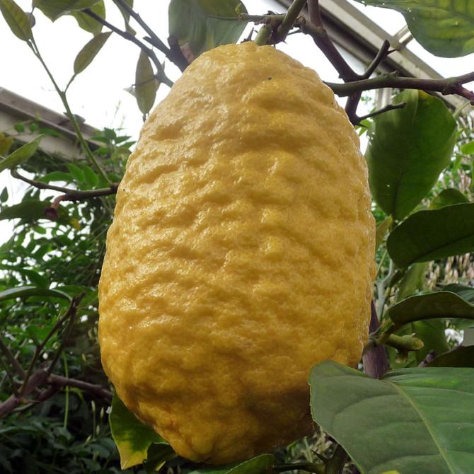 Citronnier Cédrat ou Cédratier - Citrus medica