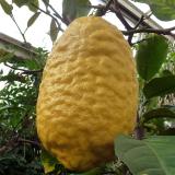 Citron cédrat ou Cédratier