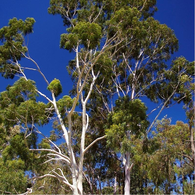 Eucalyptus citronné - Corymbia citriodora