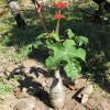Baobab nain - Jatropha podagrica