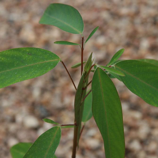 plante qui danse codariocalyx motorius