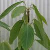 Plante qui danse - Codariocalyx motorius