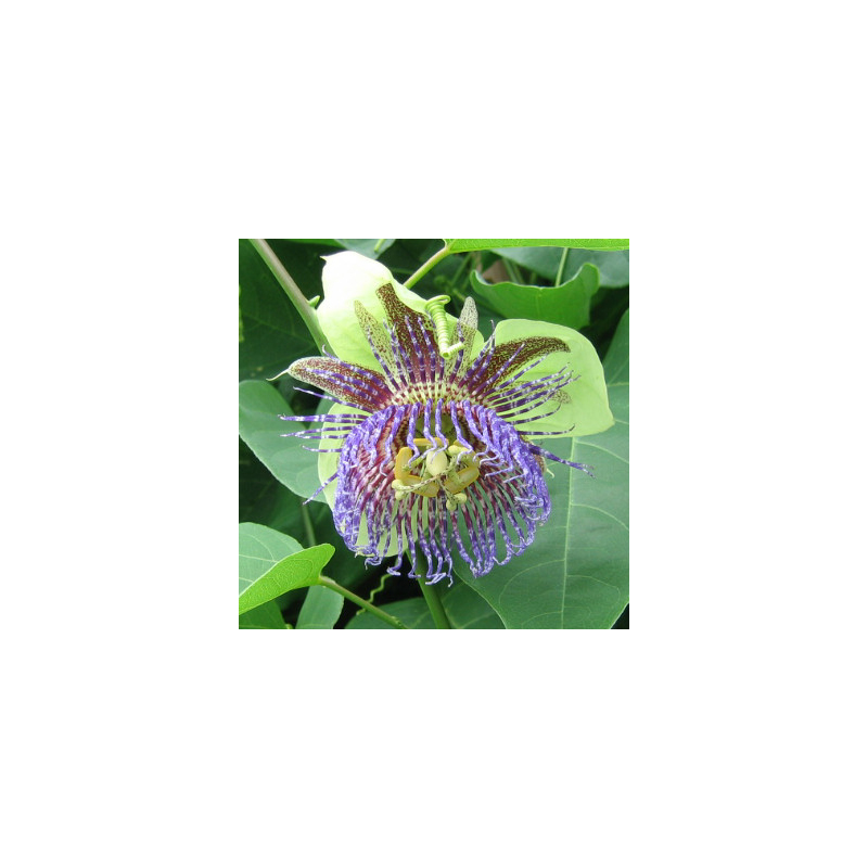 Pomme calebasse - Passiflora maliformis