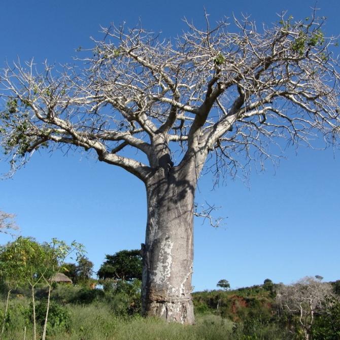 baobab africain adansonia digitata. Black Bedroom Furniture Sets. Home Design Ideas