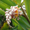 Gingembre cannelle - Alpinia zerumbet