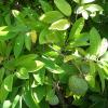Pommier cannelle - Annona squamosa