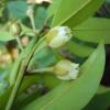 Sapotillier - Arbre à chewing-gum - Manilkara zapota