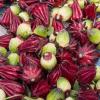 Oseille de Guinée - Hibiscus sabdariffa