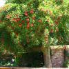 Erythrine crête de coq - Erythrina crista-galli