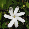 Tiaré - Gardenia tahitensis