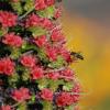 Vipérine de Ténérife - Echium wildpretii