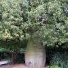 Arbre bouteille australien - Brachychiton rupestris