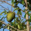 Corossolier - Annona muricata