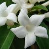 Jasmin de Madagascar - Stephanotis floribunda