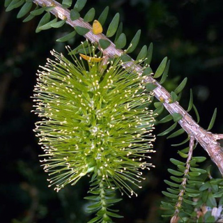 Myrthe de miel vert