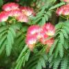 Arbre à soie - Albizia julibrissin