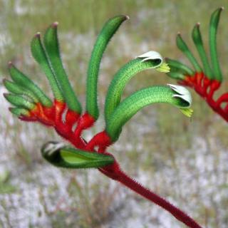 Patte de kangourou rouge et verte