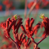 Patte de kangourou rouge - Anigozanthos flavidus red