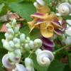 Vigne escargot - Vigna caracalla