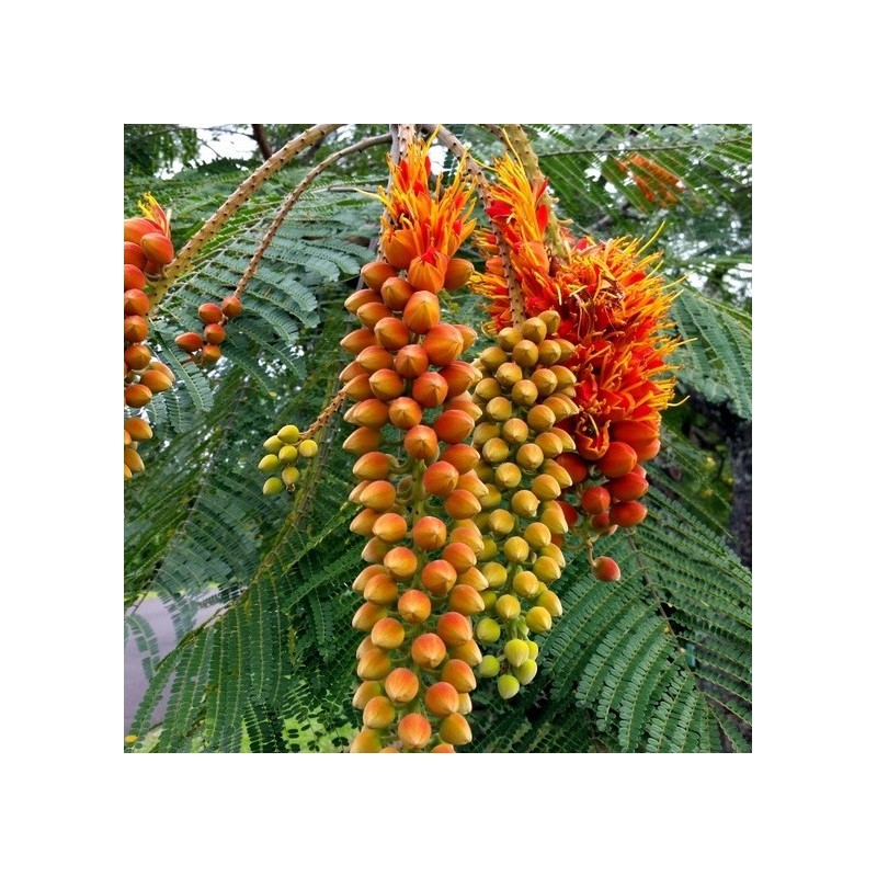 Flamboyant d'avril - Colvillea racemosa