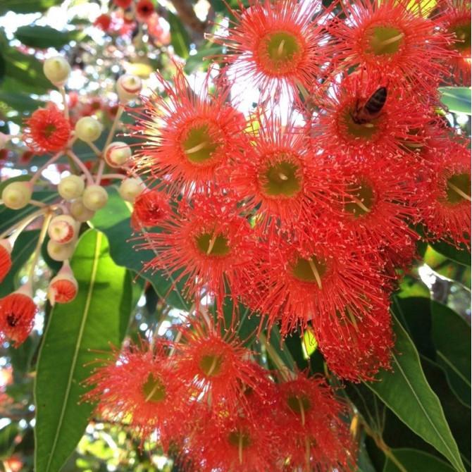 Eucalyptus rouge - Corymbia ficifolia