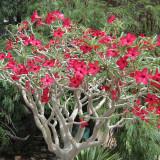 Rose du désert rouge